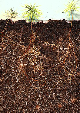 rootgrow mycorrhizal friendly fungi - larch roots