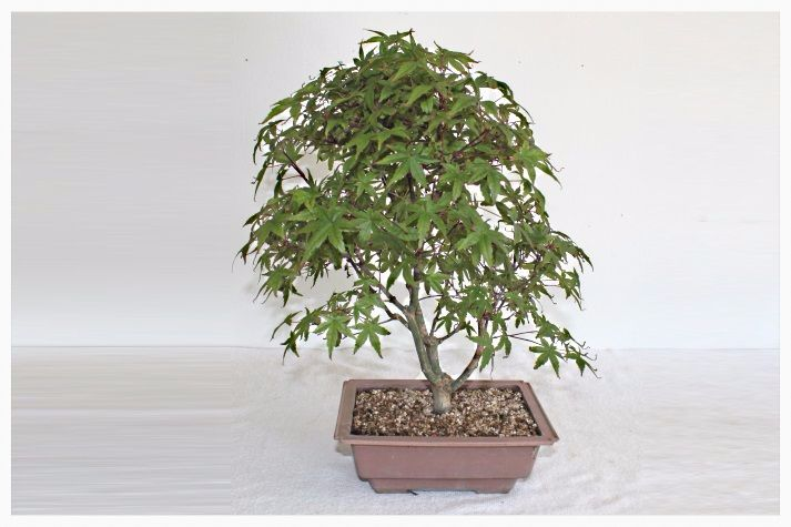 Acer Palmatum Deshojo Bonsai 14 Years 1