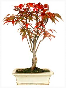 Acer Palmatum Deshojo Bonsai 9 Years